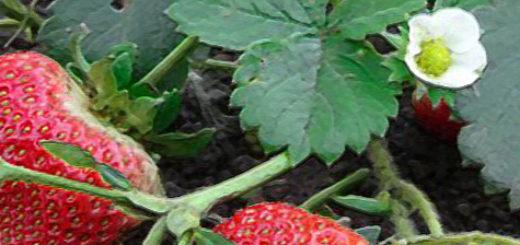 Плоды и цветы ремонтантной клубники
