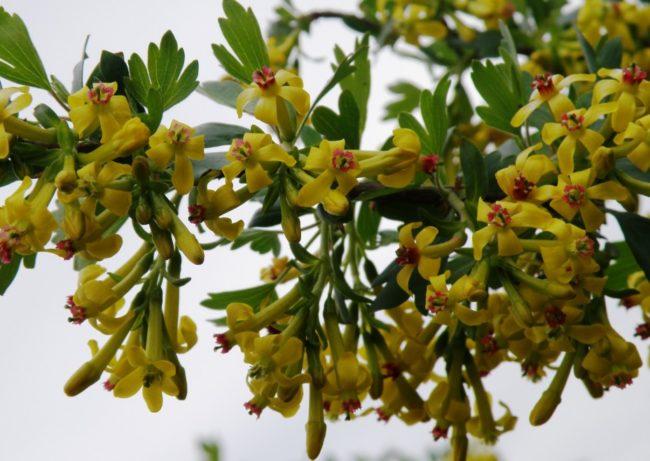 Цветки ягодного кустарника Йошта причудливой формы и интересной расцветки