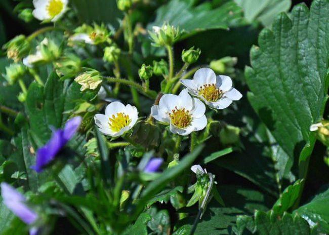 Цветущий куст клубники сорта Соната