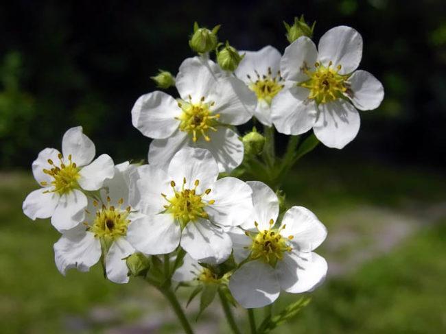 Цветки клубники Зефира в мае