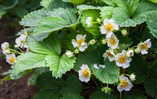 Цветущий куст клубники Ирма