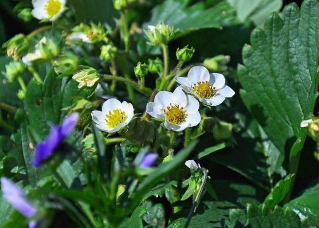 Цветки клубники сорта Дарселект