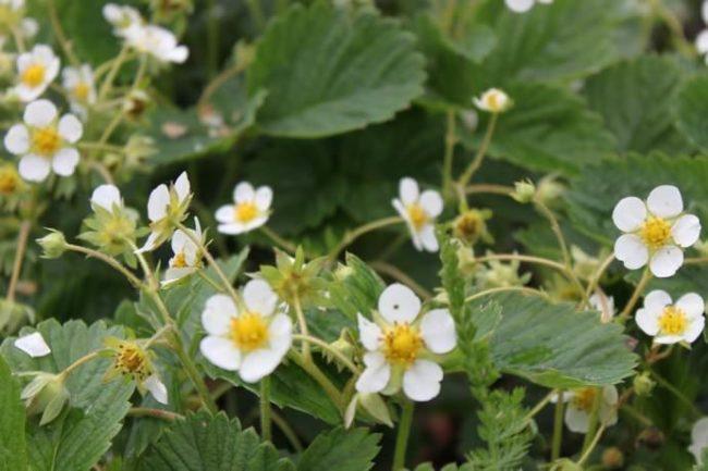 Цветки клубники Эльсанта в конце мая