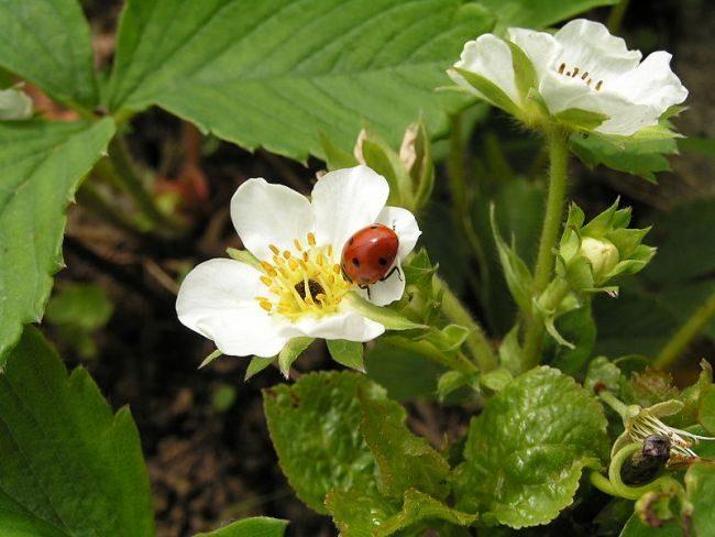 Белые цветки на кусту крупноплодной клубники сорта Машенька