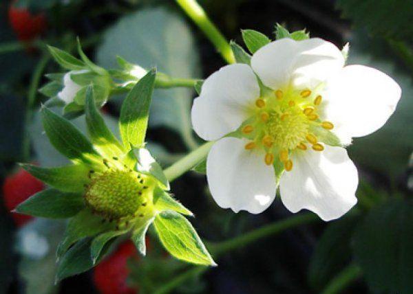 Цветок и зеленая ягода на кусту клубники
