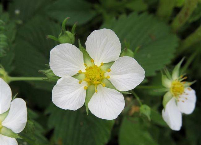 Цветок клубники Маршал крупным планом