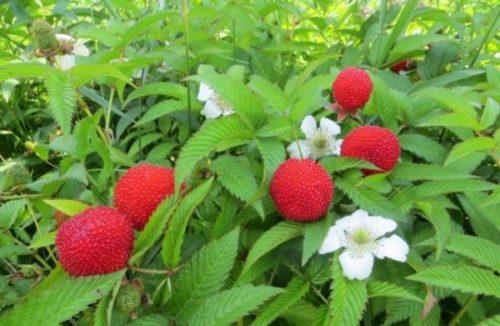 Кусты гибридного сорта малины с клубникой