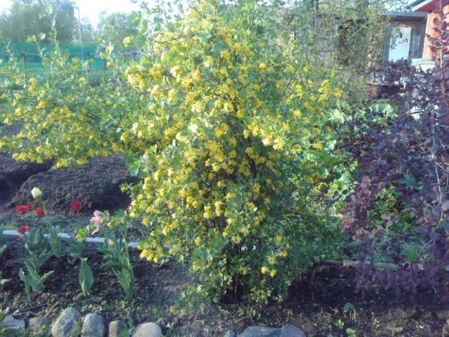 Цветущий куст гибридного растения Йошта в середине весны