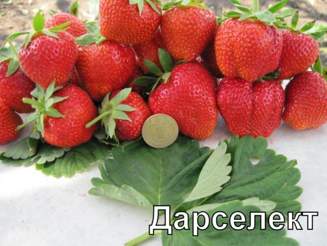 Горстка спелых ягод клубники сорта Дарселект