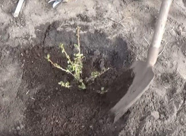 Мульчирование поверхности земли вокруг саженца крыжовника