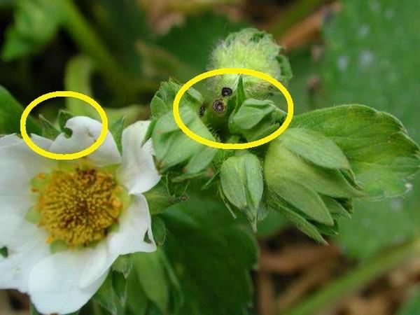 Объеденные жуком-долгоносиком цветочные бутоны на садовой клубнике