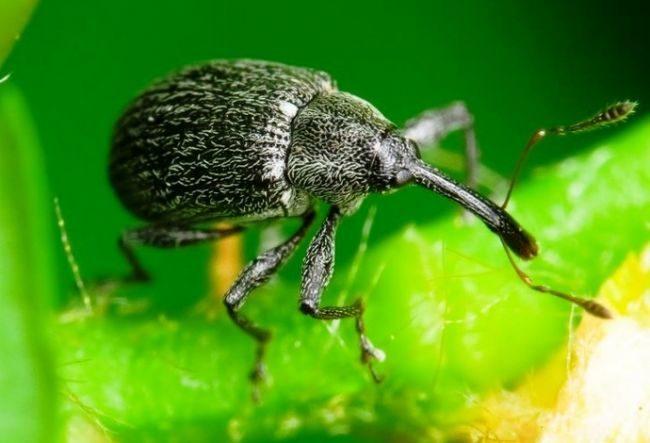 Самка жука долгоносика на листе клубники Мальвина