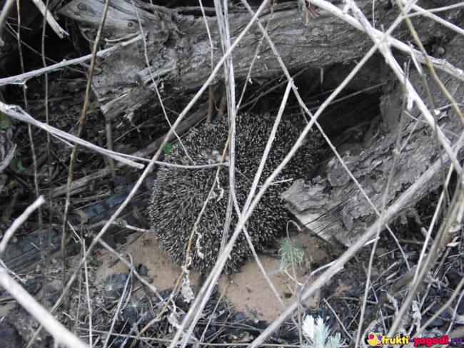 Ёжик прячется под деревом на дачном участке