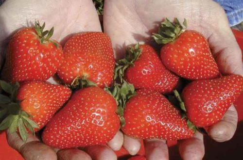 Горстка спелых ягод клубники сорта Фестивальная