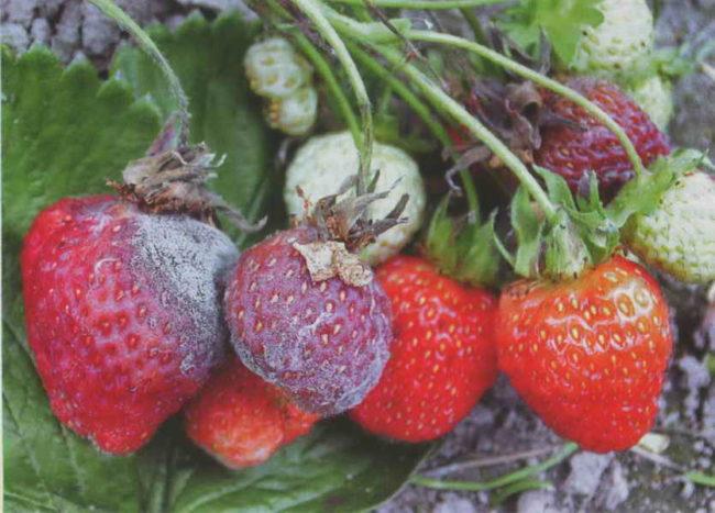Гнилые ягоды клубники поражённые фитофторозом