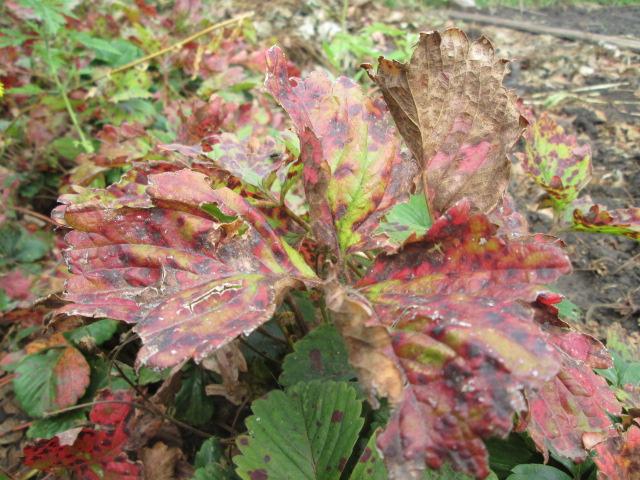 Листья клубники, больные фитофторозом