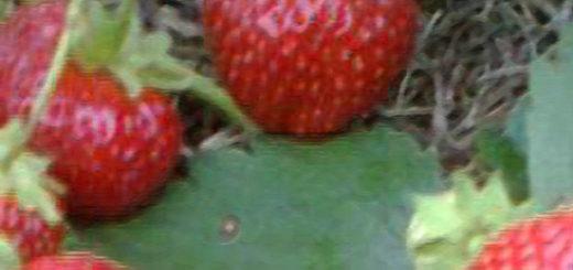 Плоды клубники Флорина вблизи