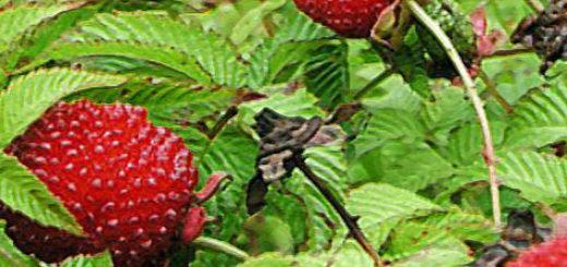 Плоды гибрида клубники и малины вблизи