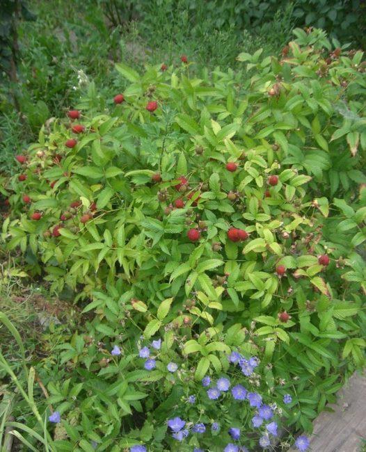 Кусты гибрида малины и клубники