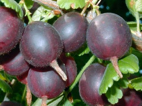 Крупные ягоды гибрида Йошта темно-фиолетового цвета