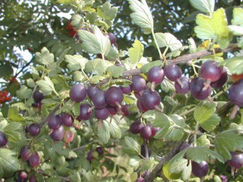 Мощные ветви плодового кустарника Йошта, гибрида крыжовника и черной смородины