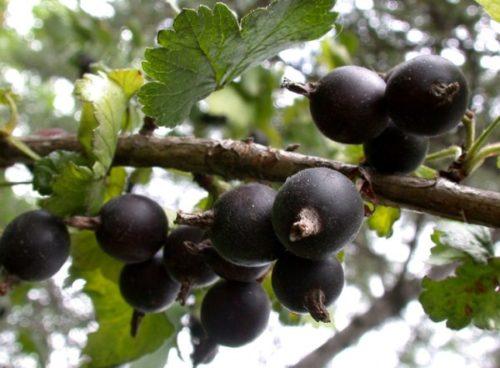 Кисти ягод гибридного кустарника Йошта, крепко сидящие на толстых плодоножках