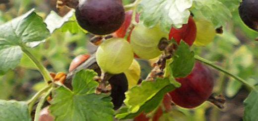 Плоды гибрида смородины и крыжовника Йошта