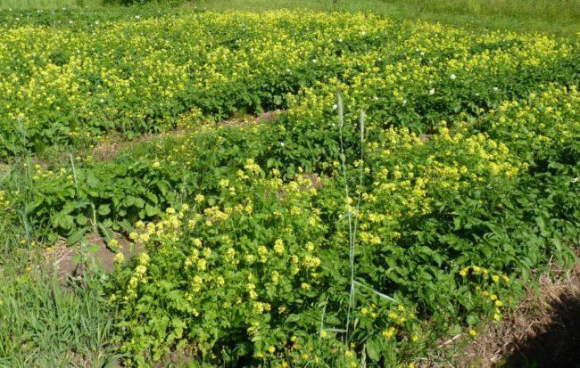 Белая горчица в огороде, восстановление плодородия земли с помощью сидеральных растений