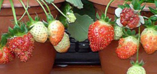 Горшочек клубники с плодами спелые и зелёные
