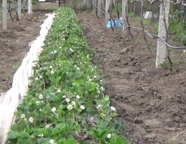 Грядка в огороде с клубникой Ирма