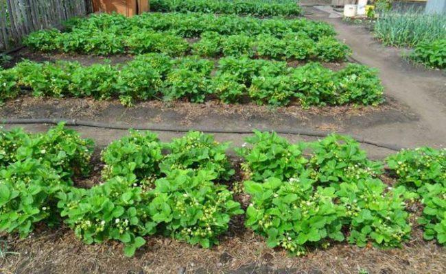 Грядки клубники в огороде
