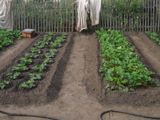 Две грядки клубники в огороде