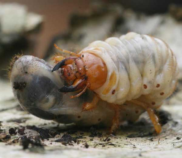 Фото личинки майского жука