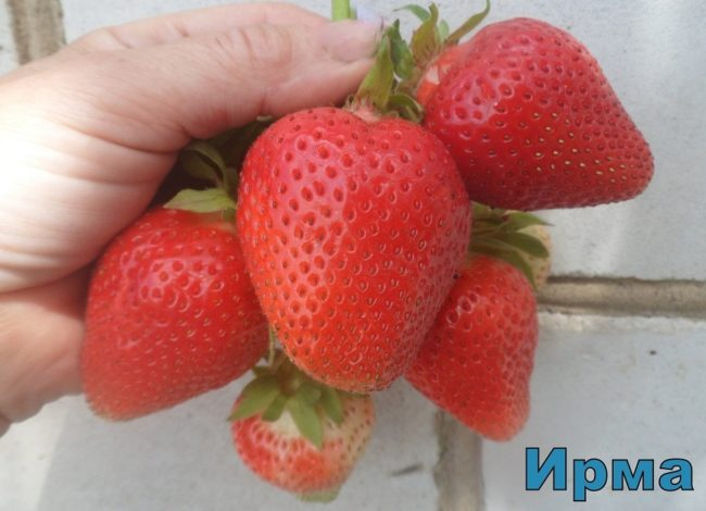 Кисть ягод клубники Ирма в руке садовода