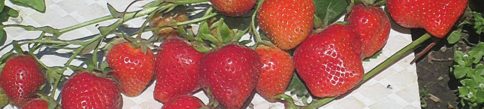 Много плодов клубники ИРМА вблизи