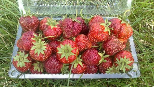 Пластиковый контейнер с ягодами садовой клубники Машенька
