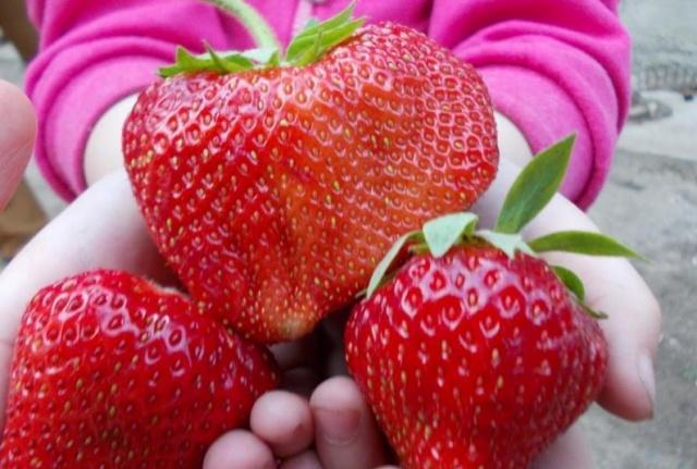 Крупные и аппетитные ягоды клубники