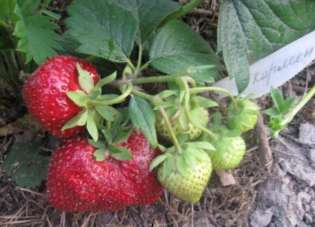 Красные и зеленые ягоды под кустом садовой земляники сорта Кармен