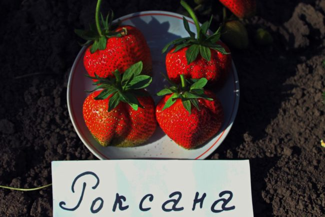 Четыре крупных ягоды клубники Роксана