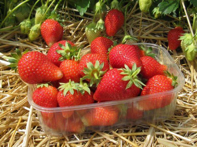 Палетка с ягодами клубники сорта Альба, сбор урожая