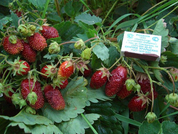 Куст клубники Купчиха с ягодами длиной до пяти сантиметров