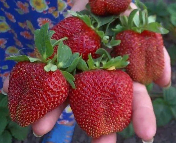 Крупные и спелые плоды клубники Маршал