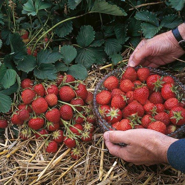 Урожай ягод клубники сорта Эльсанта