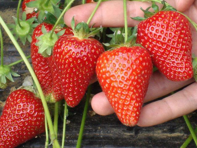 Вытянутые конусообразные ягоды клубники Альба итальянской селекции