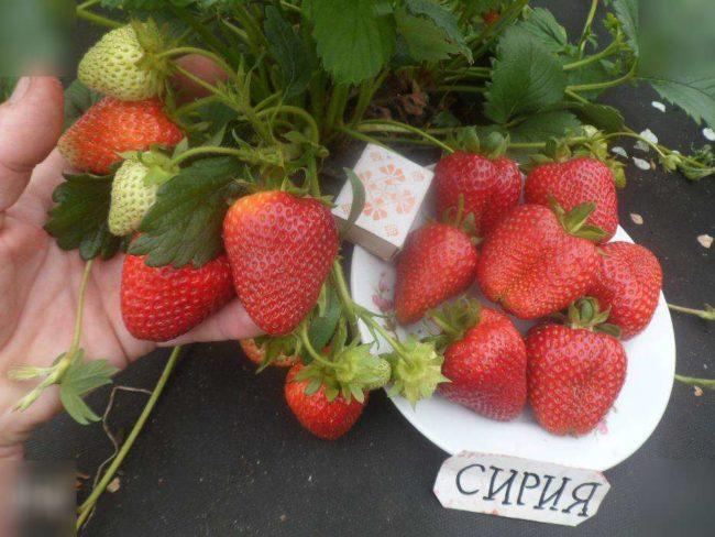 Куст клубники Сирия с крупными ягодами размером со спичечный коробок
