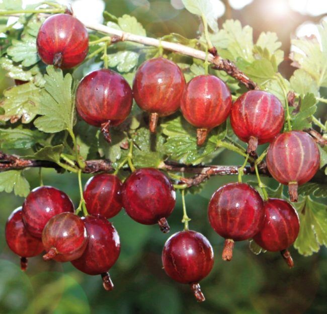Ветки крыжовника Колобок и созревающие плоды с бардовым оттенком