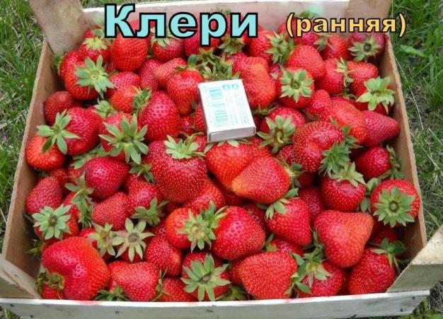Деревянный ящик с ягодами клубники сорта Клери