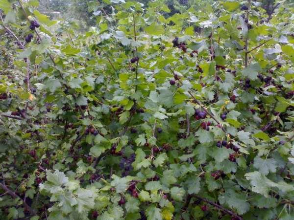 Рослые кусты гибрида Йошта сорта Крона, на мощных ветках зреют ягоды