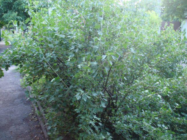 Высокий куст гибридного растения Йошта сорта Моро, одно из последних достижений селекционеров