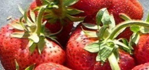 Плоды клубники сорта Камрад